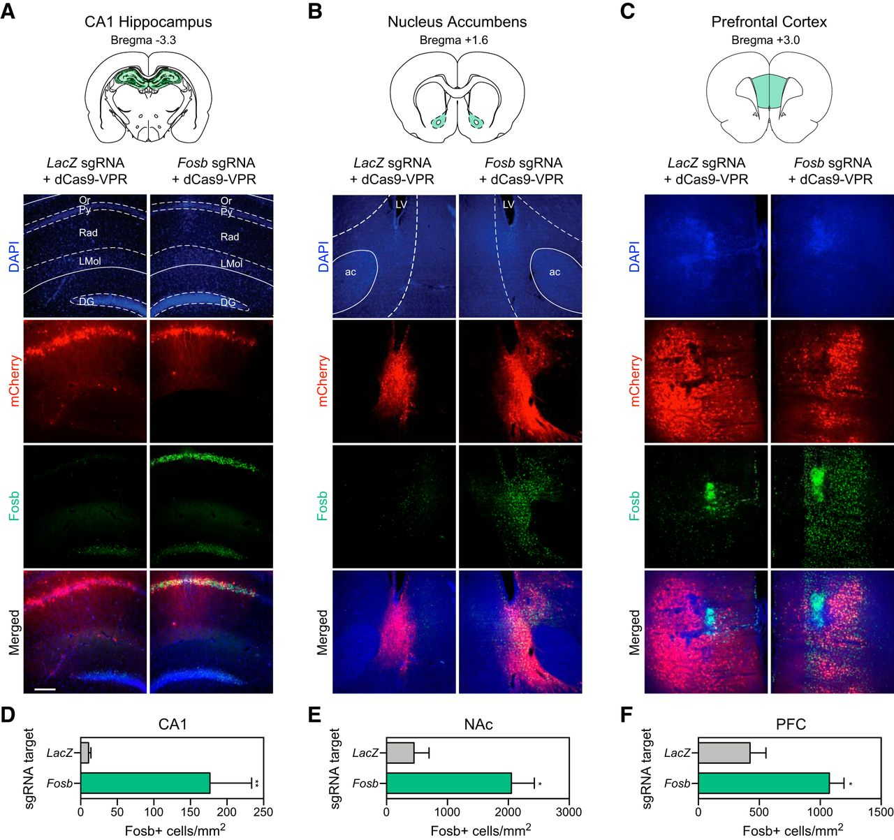 A Neuron-Optimized CRISPR/dCas9 Activation System for Robust and