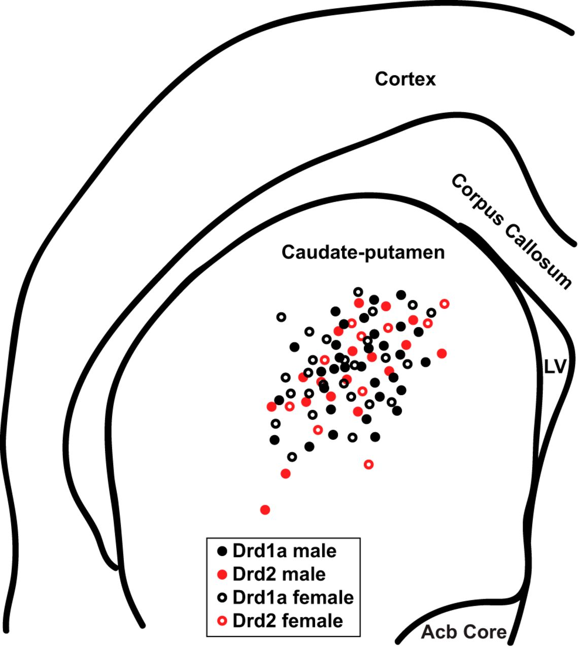 Electrophysiological Properties of Medium Spiny Neuron Subtypes in