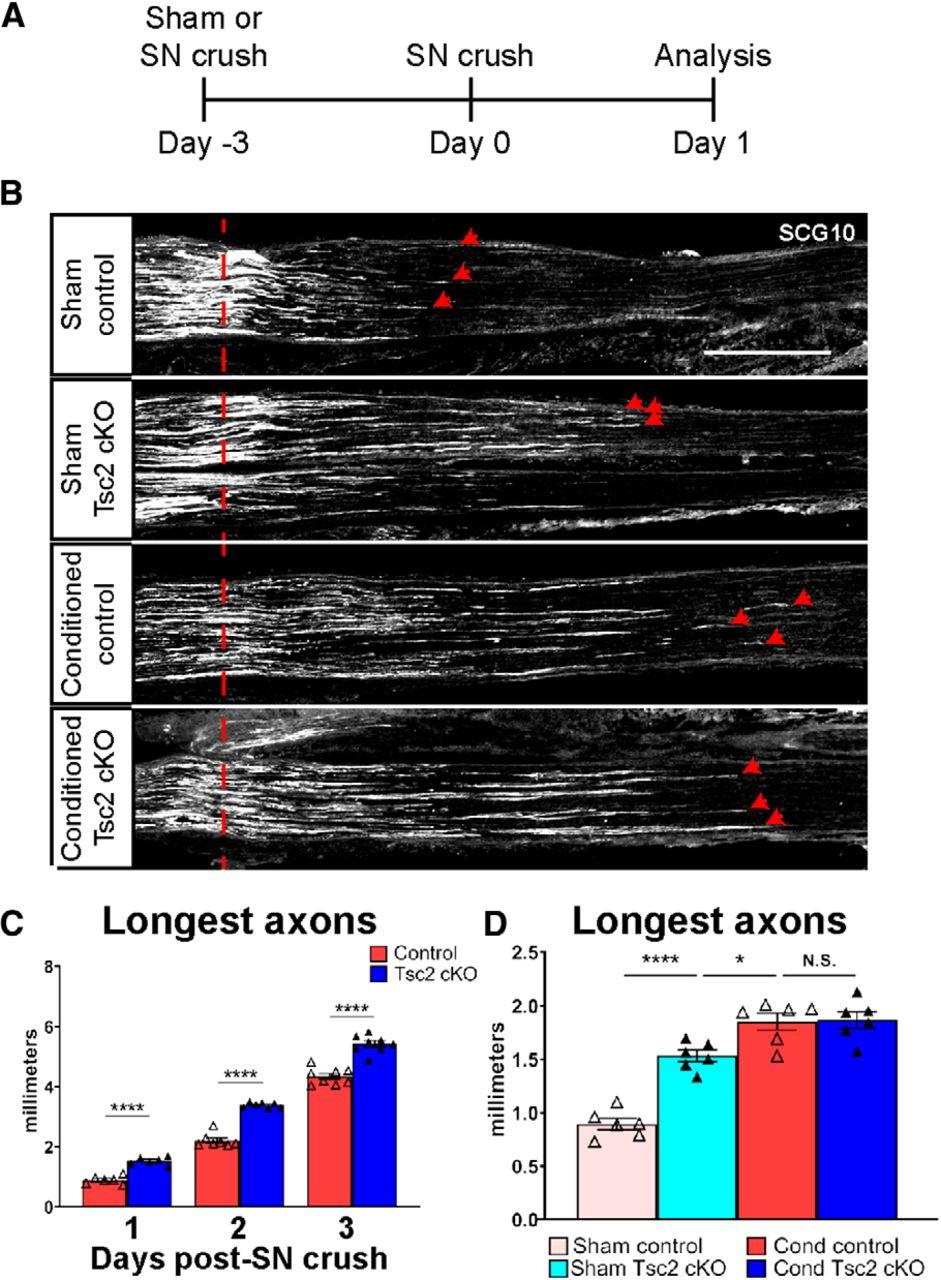 Nociceptor Deletion of Tsc2 Enhances Axon Regeneration by