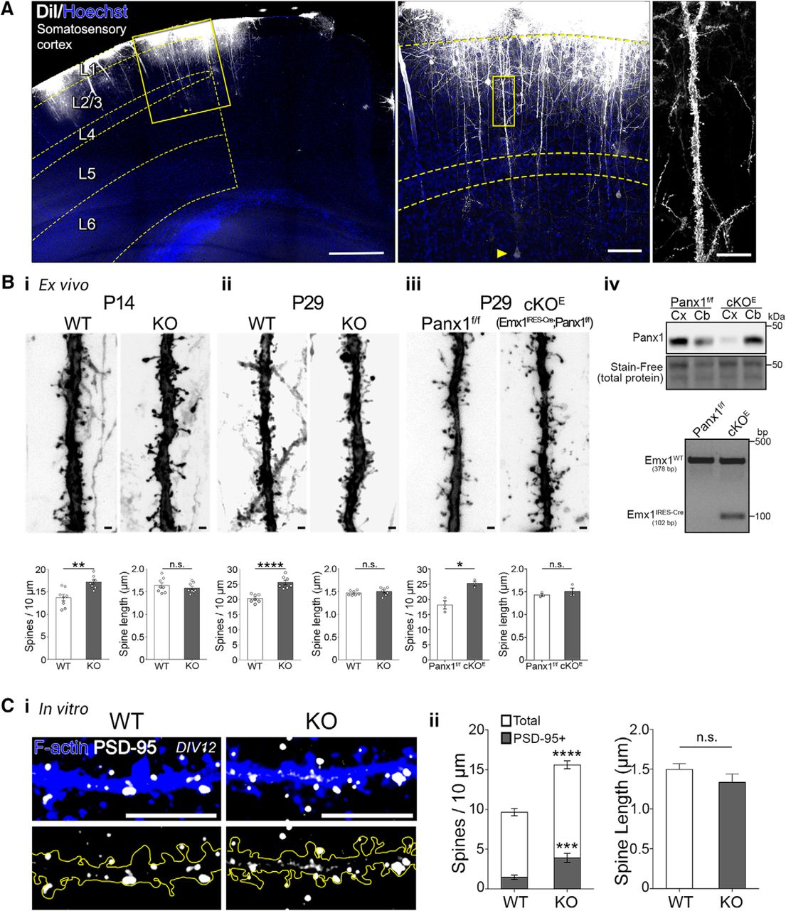 Pannexin 1 Regulates Network Ensembles and Dendritic Spine