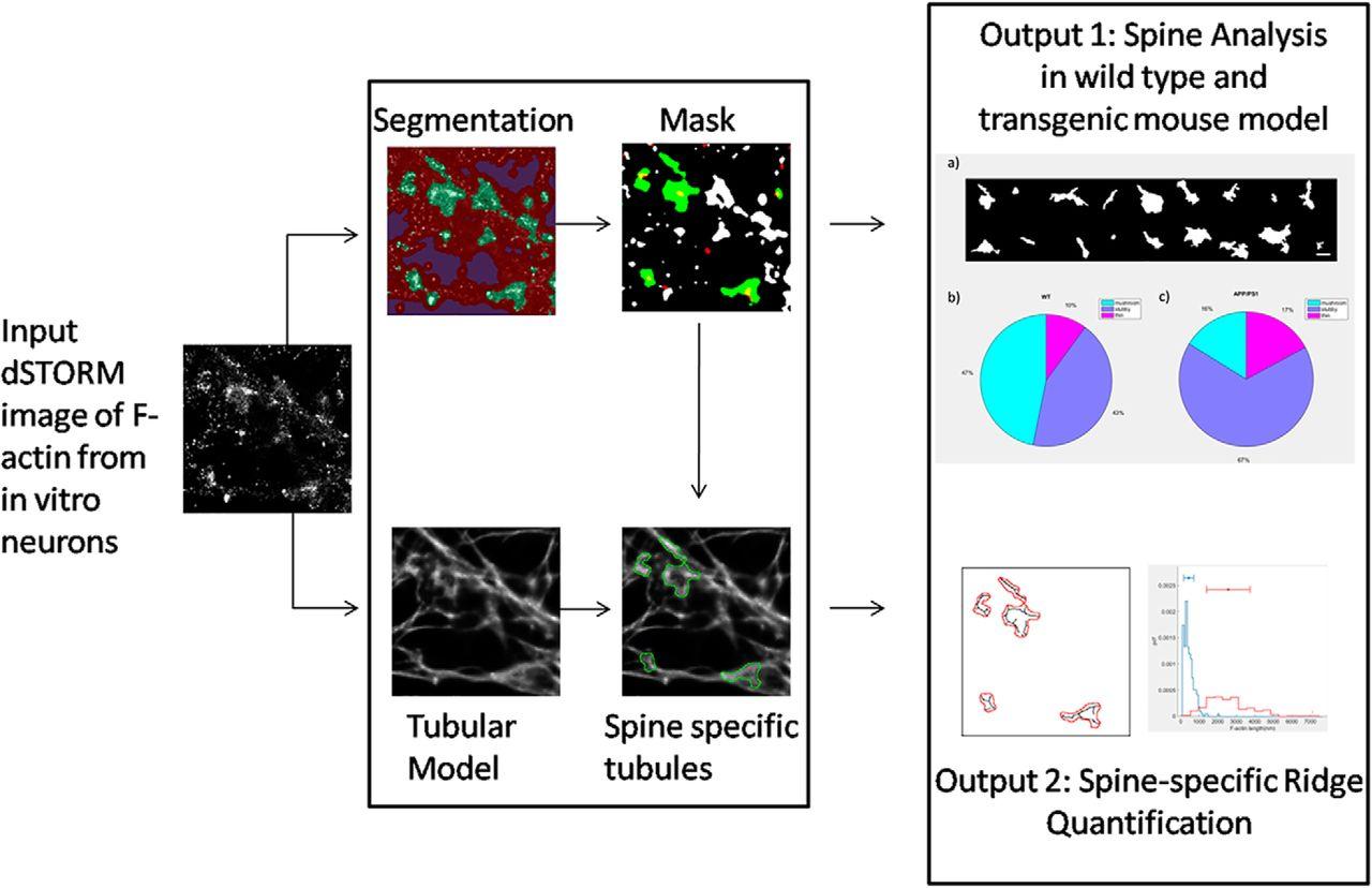 Characterization of Nanoscale Organization of F-Actin in