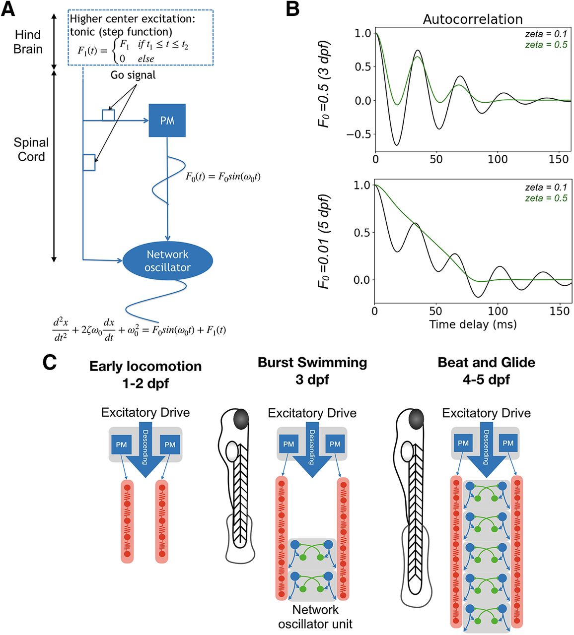 Spatiotemporal Transition In The Role Of Synaptic Inhibition To The Tail Beat Rhythm Of Developing Larval Zebrafish Eneuro