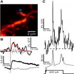 EPSPs Measured in Proximal Dendritic Spines of Cortical Pyramidal Neurons