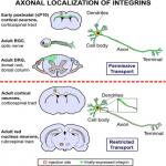 Axonal Localization of Integrins in the CNS Is Neuronal Type and Age Dependent