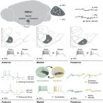 The Structural and Electrophysiological Properties of Progesterone Receptor-Expressing Neurons Vary along the Anterior-Posterior Axis of the Ventromedial Hypothalamus and Undergo Local Changes across the Reproductive Cycle