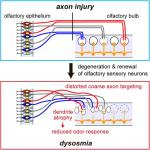 Distorted Coarse Axon Targeting and Reduced Dendrite Connectivity Underlie Dysosmia after Olfactory Axon Injury