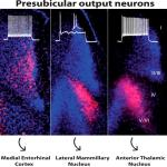 Laminar Localization and Projection-Specific Properties of Presubicular Neurons Targeting the Lateral Mammillary Nucleus, Thalamus, or Medial Entorhinal Cortex