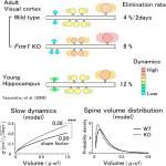 <em>In Vivo</em> Volume Dynamics of Dendritic Spines in the Neocortex of Wild-Type and <em>Fmr1</em> KO Mice