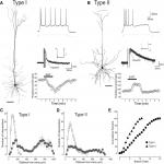Serotonin Differentially Regulates L5 Pyramidal Cell Classes of the Medial Prefrontal Cortex in Rats and Mice