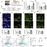 Electric Field Application <em>In Vivo</em> Regulates Neural Precursor Cell Behavior in the Adult Mammalian Forebrain