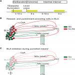 Bidirectional Control of Risk-Seeking Behavior by the Basolateral Amygdala