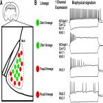 Sex Differences in Biophysical Signatures across Molecularly Defined Medial Amygdala Neuronal Subpopulations