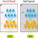 Intracortical Circuits in Thalamorecipient Layers of Auditory Cortex Refine after Visual Deprivation