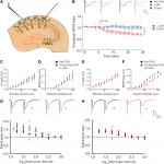 Chemogenetic Activation of Excitatory Neurons Alters Hippocampal Neurotransmission in a Dose-Dependent Manner