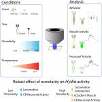 Whole-Body Imaging of Neural and Muscle Activity during Behavior in <em>Hydra vulgaris</em>: Effect of Osmolarity on Contraction Bursts