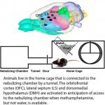 Brain Activity during Methamphetamine Anticipation in a Non-Invasive Self-Administration Paradigm in Mice