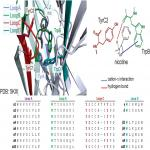 Secondary Ammonium Agonists Make Dual Cation-π Interactions in α4β2 Nicotinic Receptors