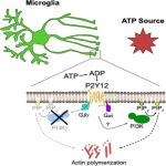 Phosphoinositide-3-Kinase γ Is Not a Predominant Regulator of ATP-Dependent Directed Microglial Process Motility or Experience-Dependent Ocular Dominance Plasticity