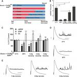 The Maintenance of Synaptic Homeostasis at the <em>Drosophila</em> Neuromuscular Junction Is Reversible and Sensitive to High Temperature