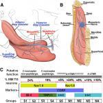 Identification of Trigeminal Sensory Neuronal Types Innervating Masseter Muscle