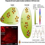 Phase Gradients and Anisotropy of the Suprachiasmatic Network: Discovery of Phaseoids