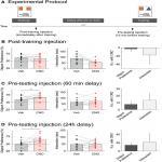 Selective Activation of Cholecystokinin-Expressing GABA (CCK-GABA) Neurons Enhances Memory and Cognition