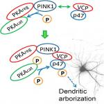 PINK1 Interacts with VCP/p97 and Activates PKA to Promote NSFL1C/p47 Phosphorylation and Dendritic Arborization in Neurons