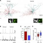 Parvalbumin Interneurons Are Differentially Connected to Principal Cells in Inhibitory Feedback Microcircuits along the Dorsoventral Axis of the Medial Entorhinal Cortex