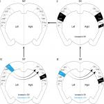 Lateralized Expression of Cortical Perineuronal Nets during Maternal Experience is Dependent on MECP2