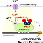 cAMP at Perinuclear mAKAPα Signalosomes Is Regulated by Local Ca<sup>2+</sup> Signaling in Primary Hippocampal Neurons