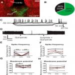 Dopamine D2 Receptors in the Paraventricular Thalamus Attenuate Cocaine Locomotor Sensitization