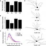 The Impact of Electrographic Seizures on Developing Hippocampal Dendrites Is Calcineurin Dependent