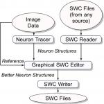 neuTube 1.0: A New Design for Efficient Neuron Reconstruction Software Based on the SWC Format