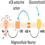 Nongenomic Glucocorticoid Suppression of a Postsynaptic Potassium Current via Emergent Autocrine Endocannabinoid Signaling in Hypothalamic Neuroendocrine Cells following Chronic Dehydration