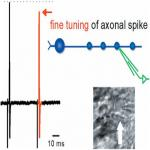 Short-Term Depression of Axonal Spikes at the Mouse Hippocampal Mossy Fibers and Sodium Channel-Dependent Modulation