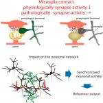Microglia Enhance Synapse Activity to Promote Local Network Synchronization