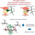 Microglia Enhance Synapse Activity to Promote Local Network Synchronization