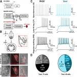 Cell-Type Specificity of Neuronal Excitability and Morphology in the Central Amygdala