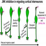 JNK Signaling Regulates Cellular Mechanics of Cortical Interneuron Migration