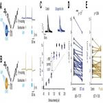 The Impact of SST and PV Interneurons on Nonlinear Synaptic Integration in the Neocortex