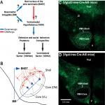 Optogenetic Study of Anterior BNST and Basomedial Amygdala Projections to the Ventromedial Hypothalamus