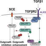 TGFβ1 Induces Axonal Outgrowth via ALK5/PKA/SMURF1-Mediated Degradation of RhoA and Stabilization of PAR6