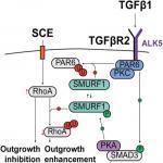 TGFβ1 Induces Axonal Outgrowth via ALK5/PKA/SMURF1-Mediated Degradation of RhoA and Stabilization of PAR6