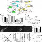 α-Synuclein-Dependent Calcium Entry Underlies Differential Sensitivity of Cultured SN and VTA Dopaminergic Neurons to a Parkinsonian Neurotoxin