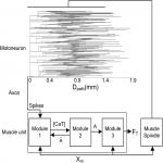 Linking Motoneuron PIC Location to Motor Function in Closed-Loop Motor Unit System Including Afferent Feedback: A Computational Investigation
