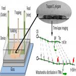 Tracking Mitochondrial Density and Positioning along a Growing Neuronal Process in Individual <em>C. elegans</em> Neuron Using a Long-Term Growth and Imaging Microfluidic Device
