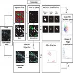 Characterization of Nanoscale Organization of F-Actin in Morphologically Distinct Dendritic Spines <em>In Vitro</em> Using Supervised Learning