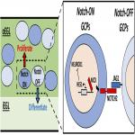 Notch Signaling between Cerebellar Granule Cell Progenitors
