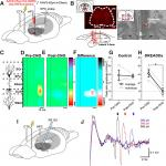 The Reuniens Nucleus of the Thalamus Has an Essential Role in Coordinating Slow-Wave Activity between Neocortex and Hippocampus