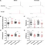 Electrophysiological Properties of Medium Spiny Neuron Subtypes in the Caudate-Putamen of Prepubertal Male and Female <em>Drd1a</em>-tdTomato Line 6 BAC Transgenic Mice